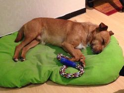 Gavroche, chien American Staffordshire Terrier
