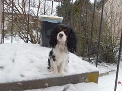 Gavroche, chien Cavalier King Charles Spaniel