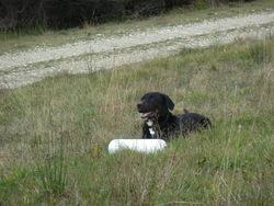 Gavroche, chien Beauceron