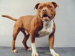 Gavroche, chien Staffordshire Bull Terrier