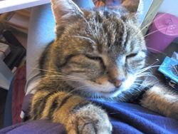Gavroche, chat Gouttière
