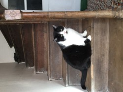 Gavroche, chat