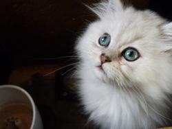 Gavroche, chat Persan