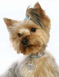 Gavroche, chien Yorkshire Terrier