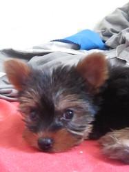 Gaya, chien Yorkshire Terrier