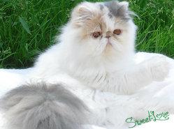 Gaya, chat Persan