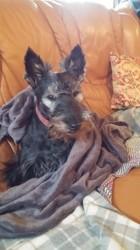 Gaia, chien Scottish Terrier