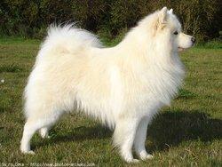 Gaya, chien Samoyède