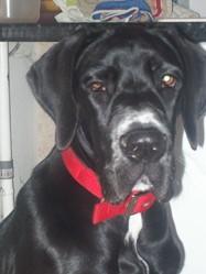 Gaya, chien Dogue allemand