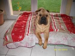 Gaya, chien Shar Pei