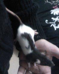 Gaya, rongeur Rat