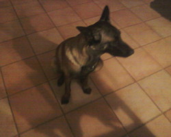 Gaya, chien Berger belge