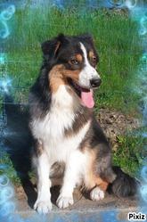 Gaya, chien Berger australien