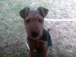 Gaya, chien Welsh Terrier