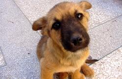 Brigite, chien Berger belge