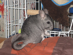 Gaya, rongeur Chinchilla