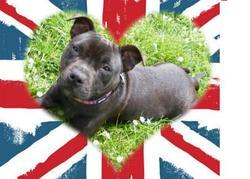 Gaya, chien Staffordshire Bull Terrier