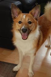Gaya, chien Berger d'Islande
