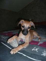 Gaya, chien Whippet