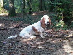 Gaya , chien Basset Hound