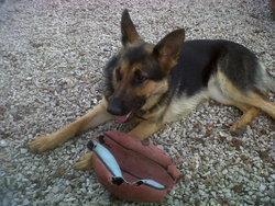 Gaya, chien Berger allemand