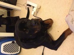 Gaya, chien Rottweiler