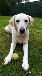 Gaya, chien Labrador Retriever