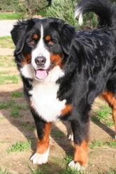 Gaya, chien Bouvier bernois