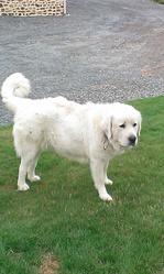 Gaya De La Prunelliere, chien Berger polonais de Podhale