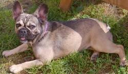 Gaya Des Etoiles Du Clos Maral, chien Bouledogue français