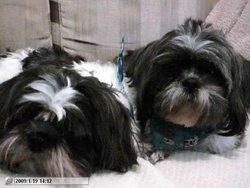 Gaya Et Pablo, chien Lhassa Apso