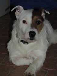 Gayard, chien Jack Russell Terrier