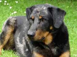 Gaynak, chien Beauceron