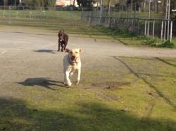 Gaza, chien Labrador Retriever