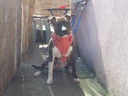 Gaza, chien American Staffordshire Terrier