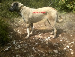 Gazal Kangal, chien Berger d'Anatolie