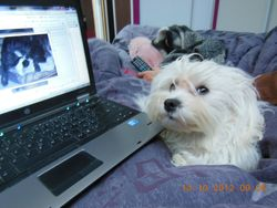 Gazby, chien Bichon maltais