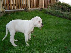 Gazil, chien Boxer