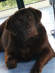 Gazolyne, chien Labrador Retriever