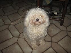 Gazouille, chien Bichon à poil frisé