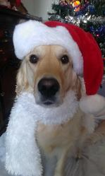 Gazoute, chien Golden Retriever