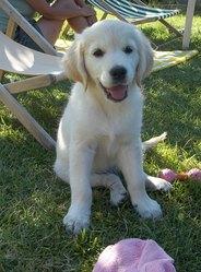 Geapsy, chien Golden Retriever