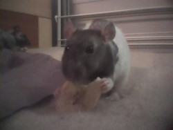 Geburah, rongeur Rat