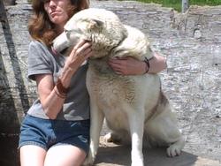 Gécha, chien Husky sibérien