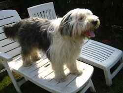 Gécko, chien Bearded Collie