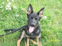 Gecko, chien Berger allemand