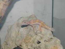 Gecko Léopard, autres
