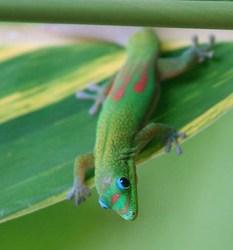 Geckous, autres