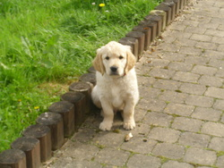 Gédéon, chien Golden Retriever