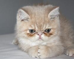 Gédéon, chat Exotic